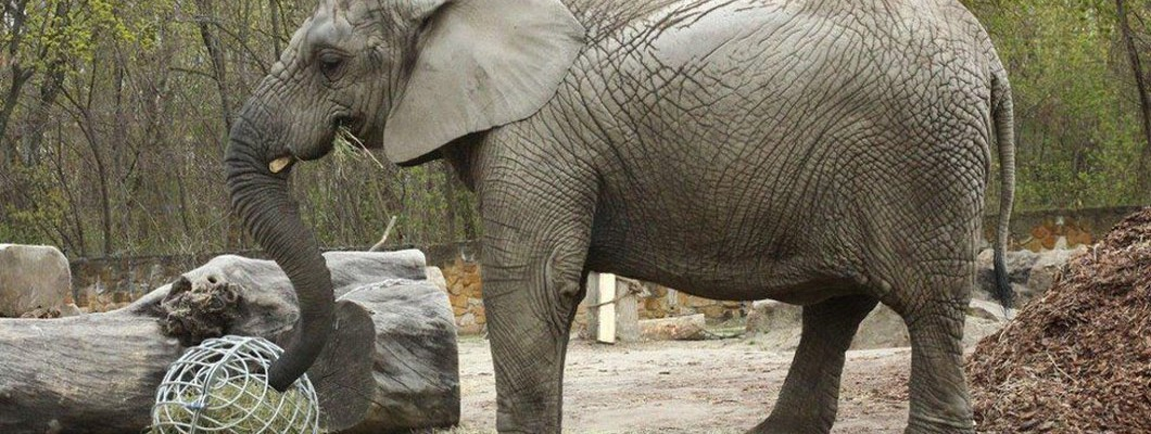 Depressed elephant at Warsaw Zoo receives experimental treatment with cannabis oil